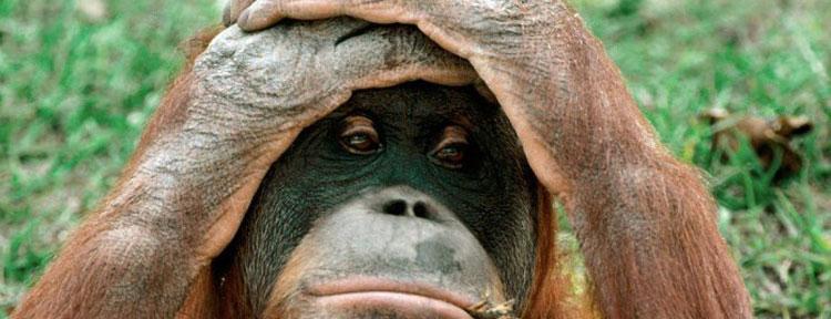 gorilla-unhappy